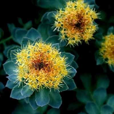 beneficii rhodiola rosea ruja